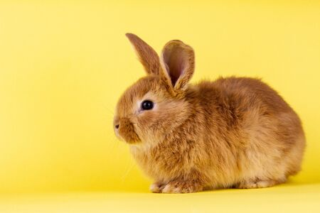 little fluffy red easter bunny on a yellow background, Easter bunny with place for write. Fluffy rabbit close-up on a yellow background