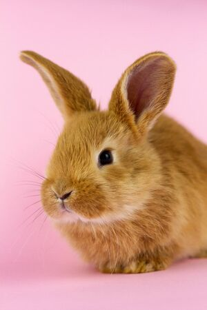 Little fluffy rabbit on pink pastel color by Easter, Easter Bunny. Concept for spring holidays, easter. Foto de archivo