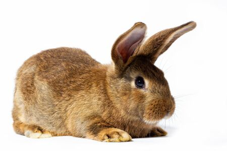 mały puszysty królik czerwony na białym tle. Zając na zbliżenie wielkanocne. Czerwony żywy królik na białym tle, do zająca na wiosenne wakacje