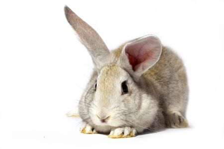 a small fluffy grey rabbit isolated on a white background. Easter Bunny for the spring holidays. Live beautiful hare for Easter