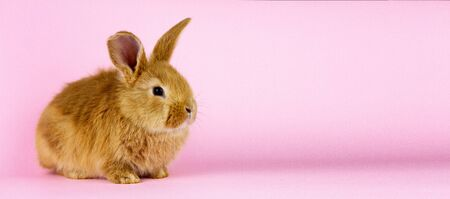 a small fluffy rabbit on a pink background. Conceptual banner for Easter. Easter live hare on a pastel pink background . Foto de archivo