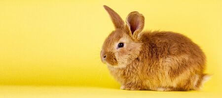 little easter lively rabbit on a yellow background. Red fluffy rabbit on a yellow background, banner picture. Easter Bunny