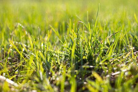 meadow with green grass, close-up. Pure spring natural background. Young green grass