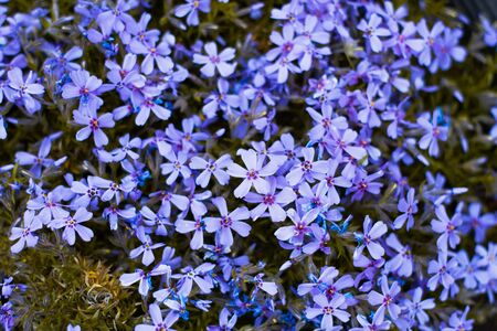 background of blue flowers close-up. Natural natural floral background, in spring time of the year. Home gardening