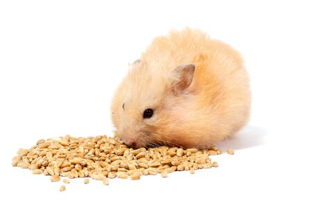 one big fluffy ginger hamster eats and collects wheat grain in his cheeks, isolated on white background, close-up