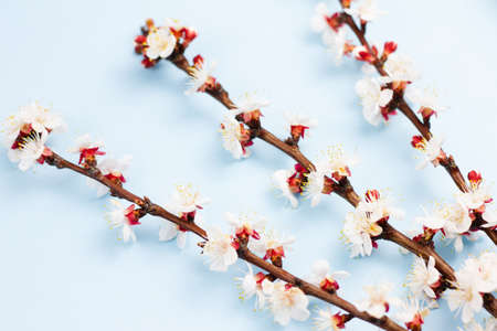 Sprigs of a fruit tree with flowers on a blue background. Place for your text. Spring concept. Top view. Copy space. Reklamní fotografie