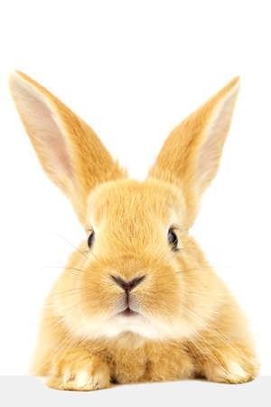 Fluffy nice rabbit is looking closely at the banner. A pet. Easter concept. Banque d'images