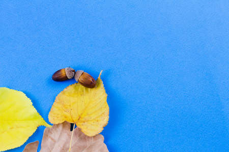 Autumn dry leaves with acorns on a blue background. View from above. Place for text. Harvesting concept.