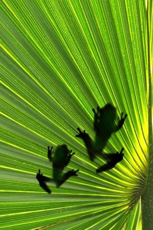 tree frog: Frogs on leaf