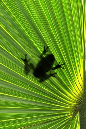 arboreal frog: Rana en hoja