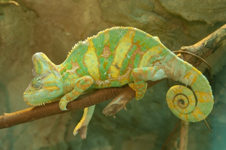 latent: Green chameleon on branch closeup Stock Photo