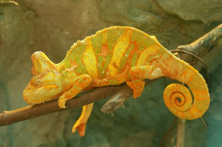 Yellow chameleon on branch closeup Stock Photo - 17180168