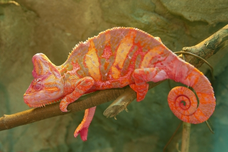 Red chameleon on branch closeup Stock Photo - 17180173