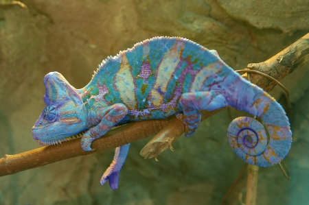 Red chameleon on branch closeup
