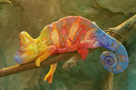 jaszczurka: Kolorowe Chameleon na oddział bliska Zdjęcie Seryjne
