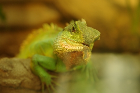 green iguana in natural environment photo