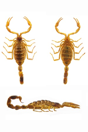 poisonous insect: Scorpion - Hottentotta isolated on white.
