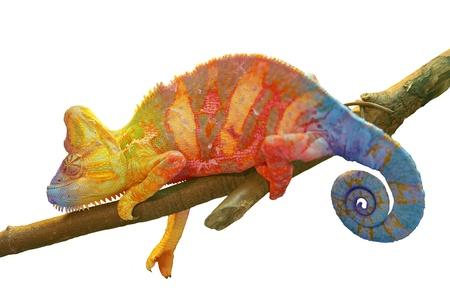 Kleurrijk Kameleon op tak close-up geïsoleerd op wit Stockfoto