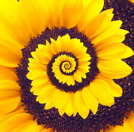 daisyflower: Sunflower infinity spiral abstract background Stock Photo