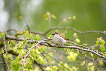 birds in tree: Sparrow on a branch