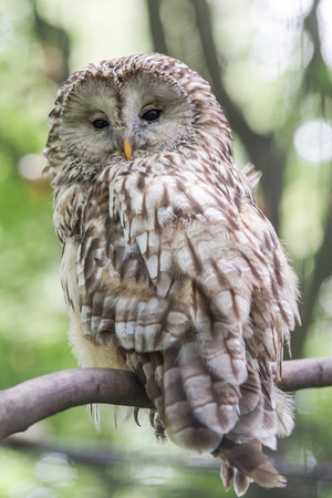 ural owl: Young owl perching on branch Stock Photo