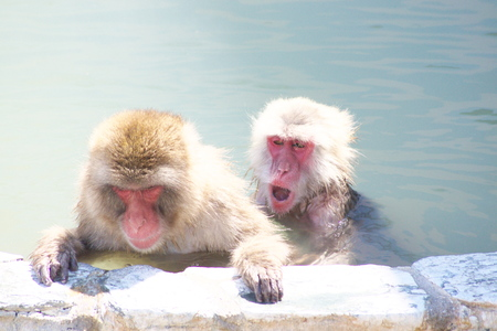 ape: The ape which likes a hot spring very much