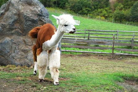 alpaca: Cute alpaca Stock Photo