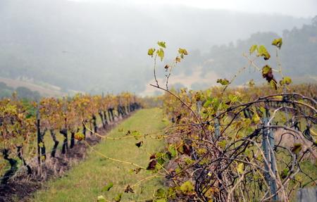 grapevine: Grapevine after harvest. Rainy day on vineyard.