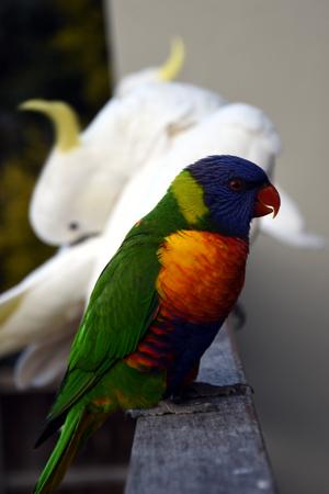 periquito: Colorido de arco iris (Trichoglossus haematodus), cacatúas en el fondo Foto de archivo