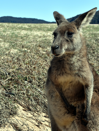 nsw: Closeup of Eastern Grey Kangaroo (Macropus giganteus) on Pebbly beach, NSW, Australia Stock Photo