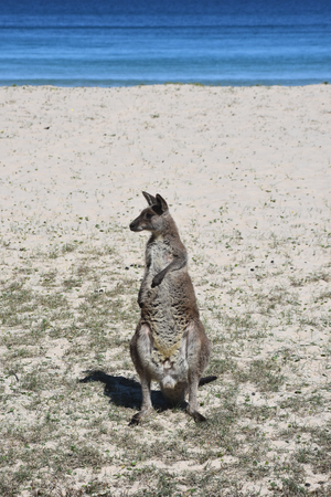 Closeup of Eastern Grey Kangaroo (Macropus giganteus) on Pebbly beach, NSW, Australia Stock Photo