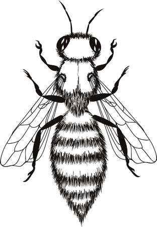 Wasp illustration, engraving, drawing, ink, vector