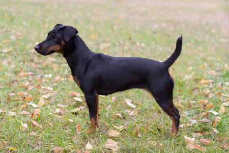 fearless: Young fearless Purebred Dog at pose outdoors.  Autumn.