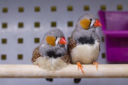 red beak: Zebra Finch. Pair of Small Birds with red beak