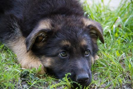 german shepherd on the grass: Sad Puppy German Shepherd lying in green grass