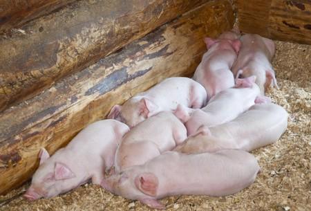 Eight little pigs sleep in sawdust in a farm