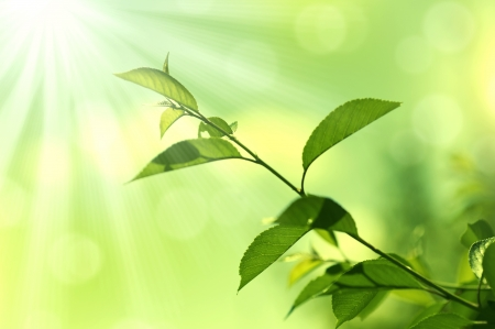 Green Leaves.Nature background and sunlight photo