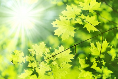 new Green and yellow maple leaf and sun ray  photo