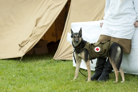 trained nurse: Shepherd Dog in the military costume with the red cross of the Second World War  Russia