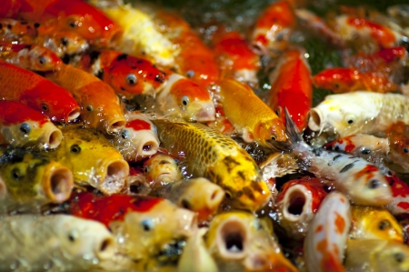 chagoi: colorful koi carps surfaces in a feeding frenzy