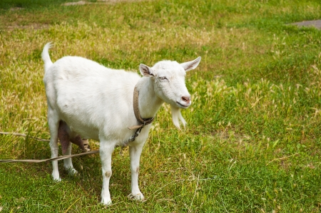 are grazed: Goat grazed on a meadow or on a farm