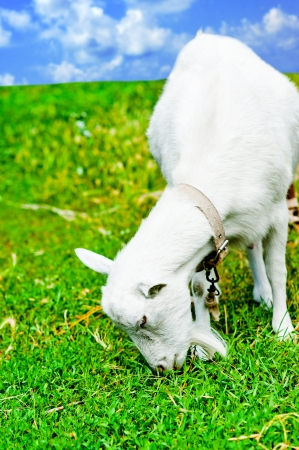 are grazed: White goat grazed and has a lunch on a meadow or on a farm  Goat eating grass