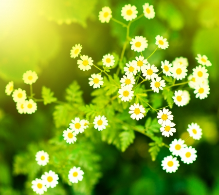 Chamomile flowers on a meadow in summer  photo