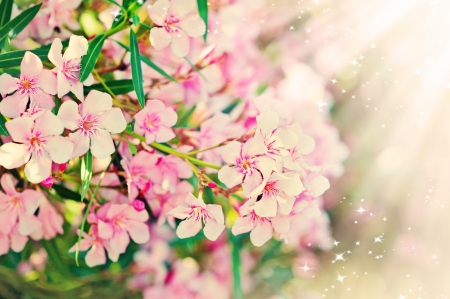 Pink flowers branch with leaves- Oleander Nerium  photo