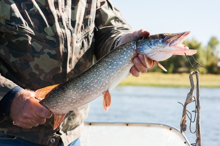 pike: Fisherman holding a pike in his hand Stock Photo