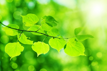 fresh new green leaves glowing in sunlight  Defocus photo