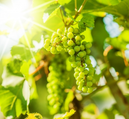 Fresh Green grapes on vine  Summer sun lights  Defocus picture