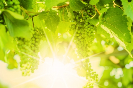 Fresh Green grapes on vine. Summer sun lights. Defocus picture