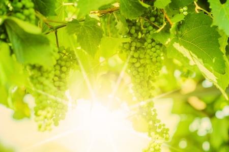 Fresh Green grapes on vine. Summer sun lights. Defocus picture Stock Photo