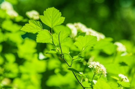 Defocus pictury of beautiful closeup spring green leaves and white flowers  photo